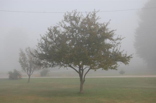 fog, tree