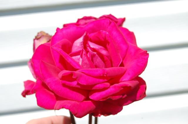 full bloom rose